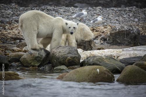 Deurstickers Ijsbeer Polar Bear Feeding
