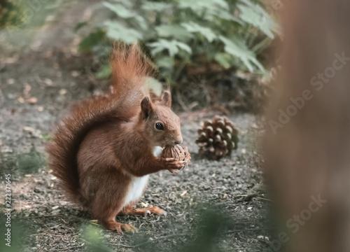 Eichhörnchen frisst eine Nuss