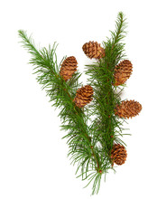 Larch Branch With Cones Isolat...