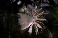 Die Königin Der Nacht (Epiphyllum Oxypetalum) Kaktus Pflanze,nachtblühende, Mit Bezaubernden, Betörend Duftenden, Großen Weißen Blüten Vor Schwarzem Hintergrund.
