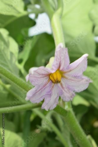 Obraz Bakłażan oberżyna kwiat - fototapety do salonu