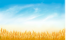 Gold Wheat Field Background With Blue Sky. Vector