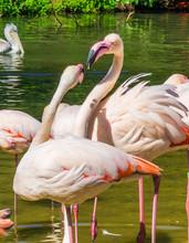 Two Pink Flamingo's Interactin...