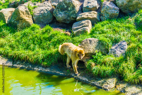 Foto op Canvas Aap adult brown orange monkey walking on a hill with rocks and water