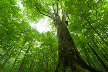 山毛欅の巨木