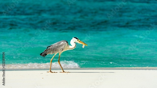 Fotomural heron catching fish in the Maldives.