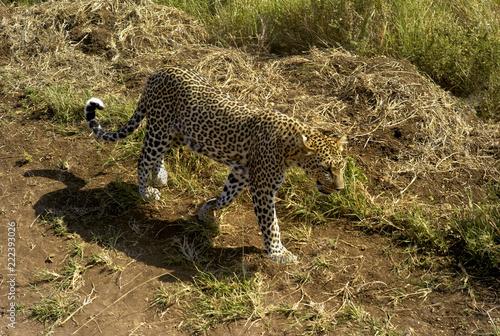 Deurstickers Luipaard Leopard Walking Through Grassland in the Serengeti, Tanzania