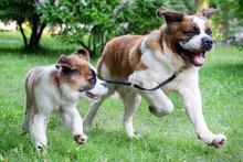 St. Bernard Dog In The Summer ...