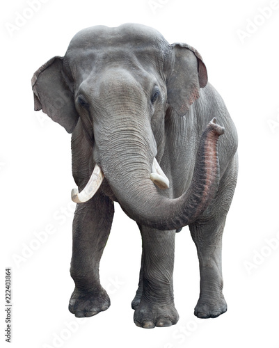 Elephant front view isolated Canvas Print