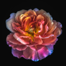 Colorful Fine Art Still Life Floral Macro Flower Portrait Of A Single Isolated Bright Glowing Wide Open Rose Blossom, Black Background,detailed Texture, Surrealistic Vintage Fantasy Painting Style
