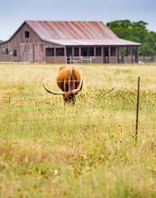 Vertical: Texas Longhorn Steer Grazing In Meadow Of Wildflowers With Rustic Barn In Background