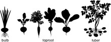Three Different Types Of Root Vegetables. Silhouettes Of Agricultural Plants