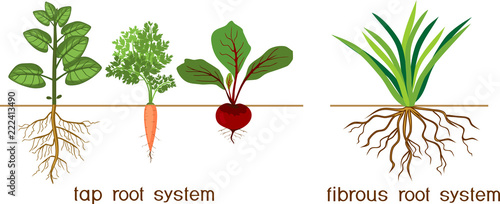 Plants with different types of root systems: tap and fibrous root systems Fotobehang