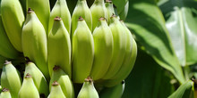 Cluster Of Young  Banana In B...