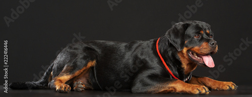 Photo Rottweiler Dog  Isolated  on Black Background in studio