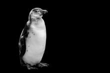 Penguin Isolated On Black Back...