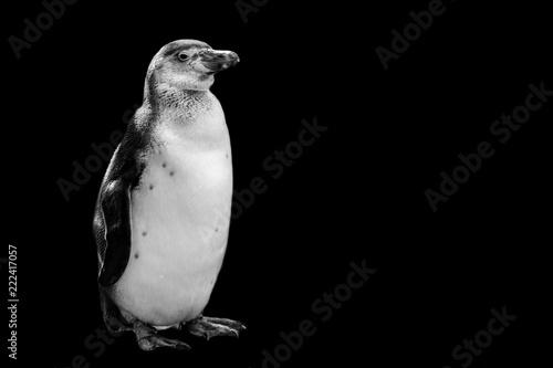 Fototapeta premium pingwin na białym tle na czarnym tle