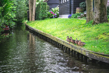 Ducks Resting On The Shore Onf A Canal In Giethoorn