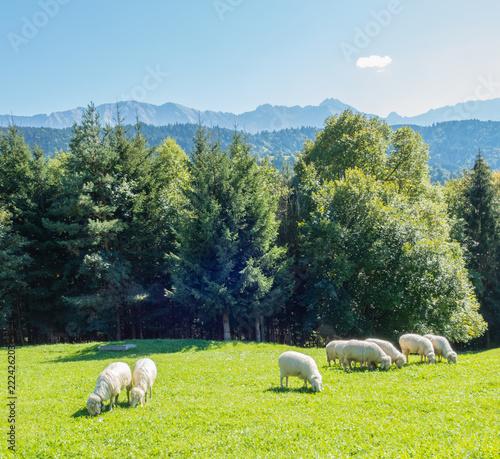 Grasende Schafe auf Alm
