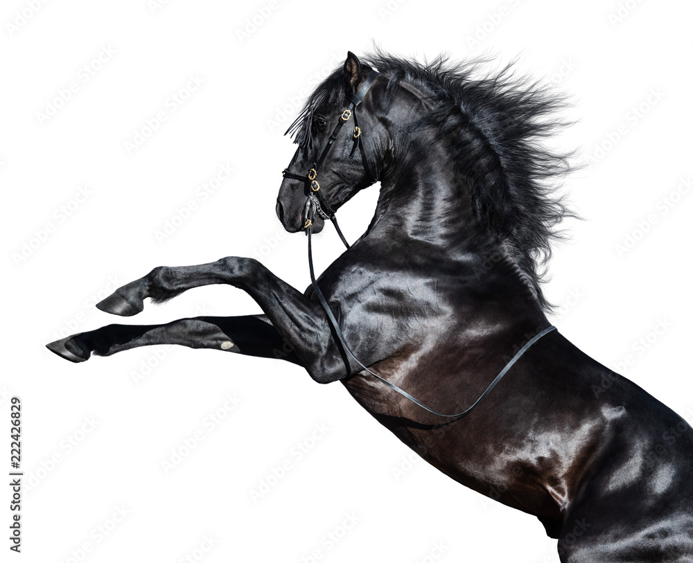 Fototapety, obrazy: Black Andalusian horse rearing. Isolated on white background.