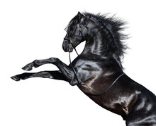 Black Andalusian Horse Rearing...