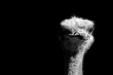 Ostrich Portrait Isolated On B...