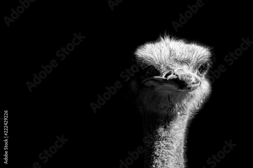 La pose en embrasure Autruche ostrich portrait isolated on black background