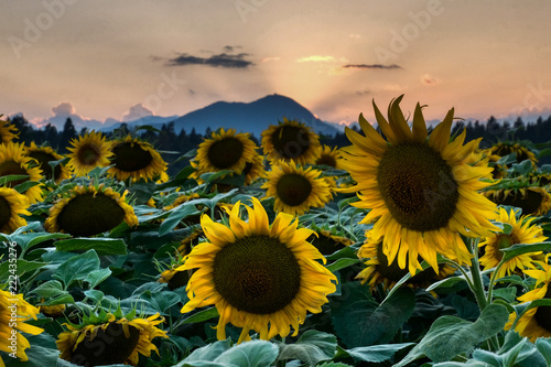 Cadres-photo bureau Tournesol Sunflower filed in Sunset with Lubnik behind