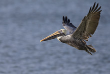 A Brown Pelican (Pelecanus Occidentalis) In Flight Over Water At Fort Myers Beach.