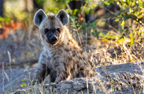 In de dag Hyena Stripped hyena, Botswana Africa wildlife