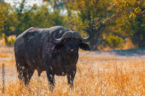 Staande foto Buffel Cape Buffalo at Moremi, Africa safari wildlife