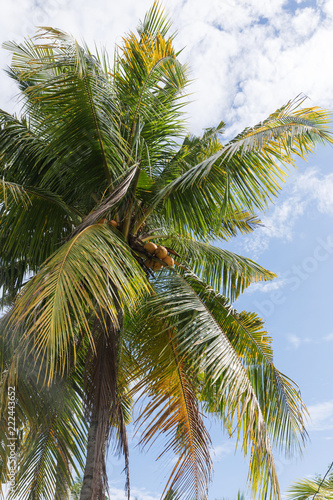 Staande foto Palm boom Green palm tree with coconuts