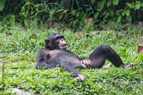 chimpanzee lying and relax on green grass Fototapeta