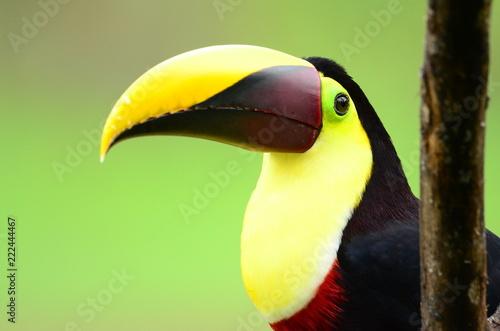 Foto op Canvas Toekan Tukan - Costa Rica