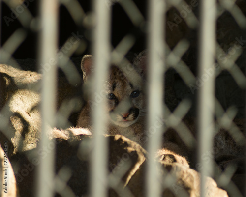 The cougar kitten is locked alone in a cage, looking sadly at freedom