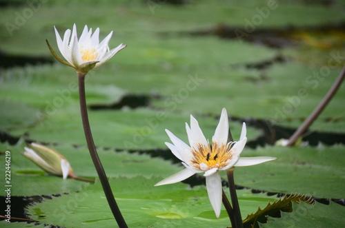 Foto op Canvas Waterlelies Seerose - Vietnam