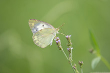 Small White Butterfly Perches ...