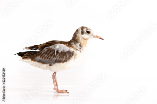Adorable lake seagull isolated on white background
