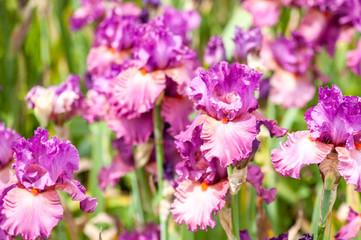 Iris de couleur rose