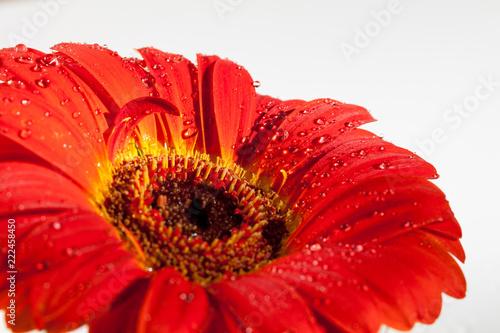 Poster Gerbera Red gerbera flower.