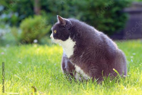 Zwart vet Pussy Cat