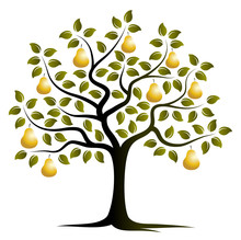 Golden Pear Tree