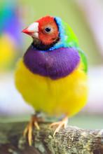 The Gouldian Finch (Erythrura ...