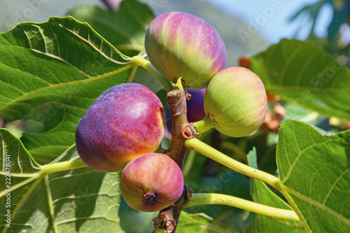 Branch of a fig tree ( Ficus carica ) with green  leaves and  colorful fruits