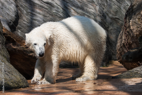 Tuinposter Ijsbeer Polar bear after bathing.