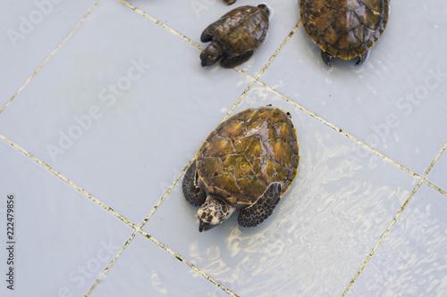 A small sea turtle in a farm