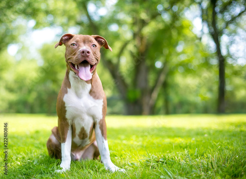 Fotografie, Obraz  A cute red and white Terrier mixed breed puppy sitting outdoors