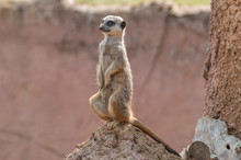 An Alert Isolated Meerkat On A Termite Mound At The Zoo