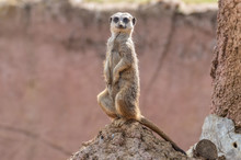 A Portrait Of A Single Meerkat Sitting On A Termite Mound.
