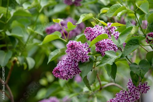 Foto op Canvas Lilac ライラックの花